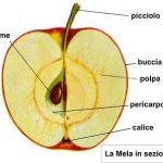 Un digestivo con le mele