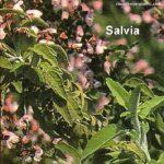 Cotolette di Salvia