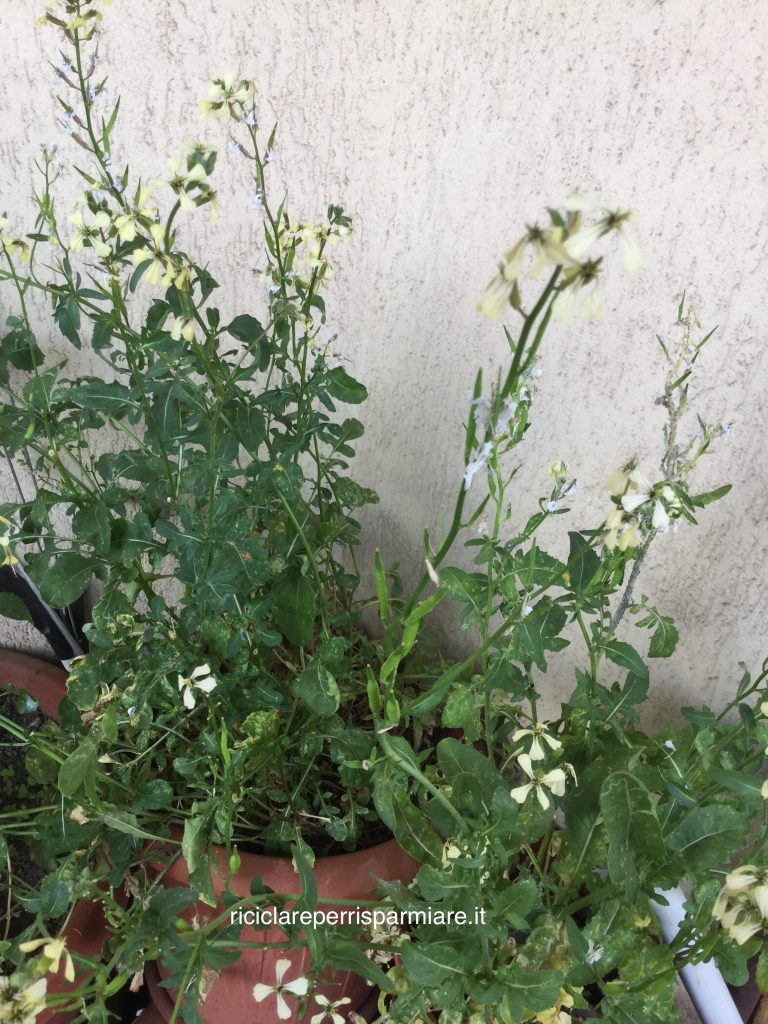 Pianta di rucola con foglie, fiori e semi