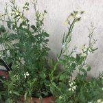 La mia pianta di Rucola